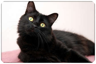 Domestic Mediumhair Cat for adoption in Sterling Heights, Michigan - Percy - ADOPTED!