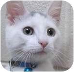 Domestic Shorthair Kitten for adoption in Wheaton, Illinois - Jack