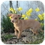 Photo 2 - Chihuahua Mix Puppy for adoption in Bedminster, New Jersey - Bailey