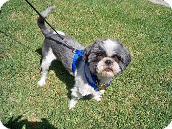 Shih Tzu/Lhasa Apso Mix Dog for adoption in Los Angeles, California - BOSTON