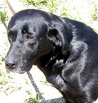 Labrador Retriever Dog for adoption in Glenwood, Minnesota - Sally