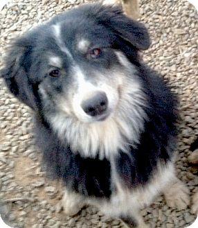 Australian Shepherd/Alaskan Malamute Mix Dog for adoption in Sacramento, California - Mikey fluff, big boy