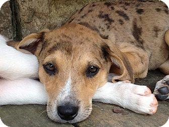 Catahoula Leopard Dog Mix Puppy for adoption in Austin, Arkansas - Hailey