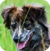 Australian Shepherd Mix Puppy for adoption in Coeburn, Virginia - Paisley