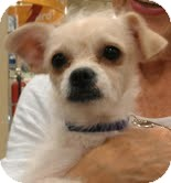 Terrier (Unknown Type, Small) Mix Dog for adoption in Phoenix, Arizona - Cloud