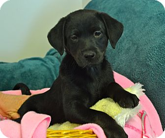 Labrador Retriever Mix Puppy for adoption in Knoxville, Tennessee - Anna
