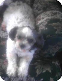 Shih Tzu Mix Dog for adoption in Edmonton, Alberta - Pebbles