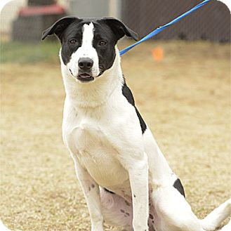 Great Pyrenees/Pointer Mix Dog for adoption in Stillwater, Oklahoma - Daisy