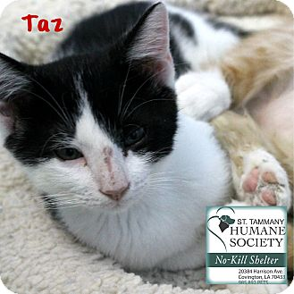 Domestic Shorthair Kitten for adoption in Covington, Louisiana - Taz