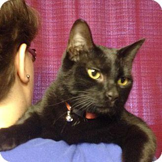 Domestic Shorthair Cat for adoption in Huntsville, Alabama - Rosie
