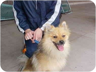 Pomeranian Mix Dog for adoption in Spring Valley, California - FRANKIE - adopted