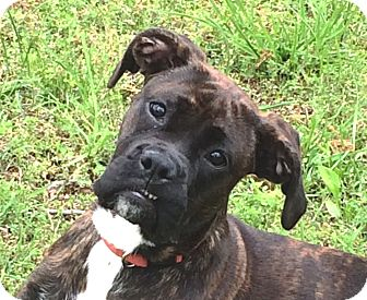Boxer Puppy for adoption in Spring Valley, New York - Jovi