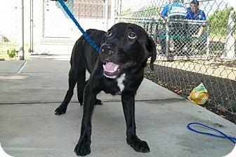 Labrador Retriever Mix Puppy for adoption in Copperas Cove, Texas - No Name