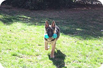 German Shepherd Dog Mix Puppy for adoption in Walnut Creek, California - Chance