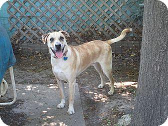 Labrador Retriever/Boxer Mix Dog for adoption in Seattle, Washington - OLAF
