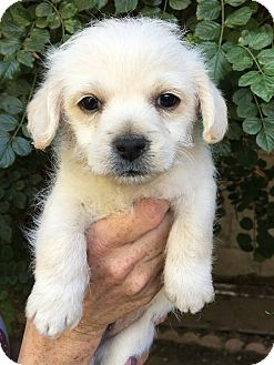 Poodle (Miniature)/Cairn Terrier Mix Puppy for adoption in Van Nuys, California - Wally & Darla