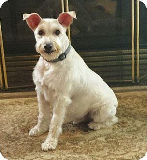 Schnauzer (Miniature) Dog for adoption in Saint Louis Park, Minnesota - Sammy