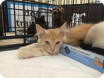 Domestic Mediumhair Kitten for adoption in Richmond, Virginia - Caramel