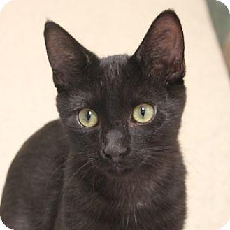 Domestic Shorthair Kitten for adoption in Naperville, Illinois - Marion