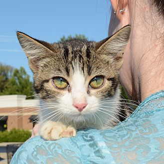 American Shorthair Kitten for adoption in Hopkinsville, Kentucky - Willow