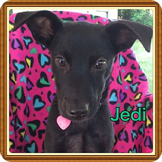 Labrador Retriever Mix Puppy for adoption in Cranford, New Jersey - Jedi