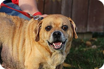 Pug/Beagle Mix Dog for adoption in Elyria, Ohio - Chunk