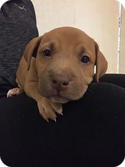 Labrador Retriever Mix Puppy for adoption in Valencia, California - Frosty