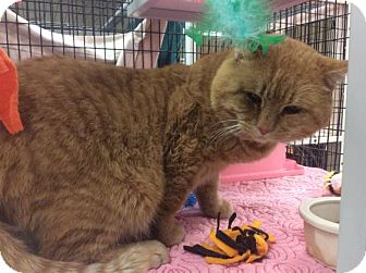 Domestic Shorthair Cat for adoption in Janesville, Wisconsin - Gonkle