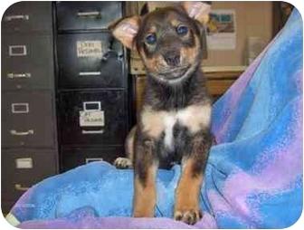 Australian Shepherd/Australian Cattle Dog Mix Puppy for adoption in Ephrata, Pennsylvania - Kuddles