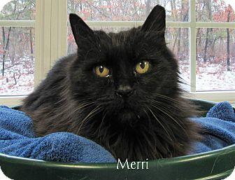 Domestic Longhair Cat for adoption in Jackson, New Jersey - Merri