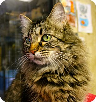 Domestic Mediumhair Cat for adoption in Smithers, British Columbia - Avalon