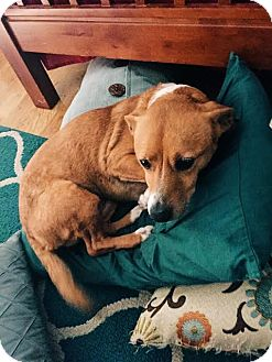 Welsh Corgi/Dachshund Mix Dog for adoption in Fullerton, California - Ayra