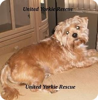 Yorkie, Yorkshire Terrier/Shih Tzu Mix Dog for adoption in Ft Myers, Florida - Zack
