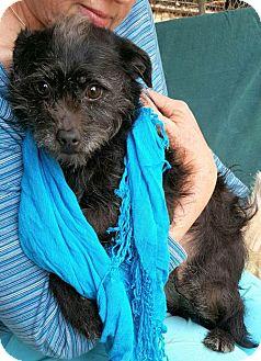 Poodle (Miniature)/Feist Mix Dog for adoption in Baileyton, Alabama - Whitney