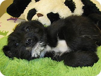 Schnauzer (Standard) Mix Puppy for adoption in Groton, Massachusetts - Hobbs