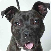 Adopt A Pet :: COMIC - Ukiah, CA