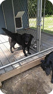 Flat-Coated Retriever/Chow Chow Mix Dog for adoption in whiting, New Jersey - June Carter Cash