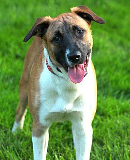 German Shepherd Dog/Border Collie Mix Puppy for adoption in Lafayette, Indiana - Tux