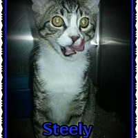 Adopt A Pet :: Steely - Richmond, CA