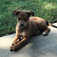 Adopt A Pet :: Mocha (Latte) - Frisco, TX