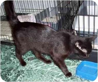 Domestic Shorthair Cat for adoption in Blackstone, Virginia - Zest