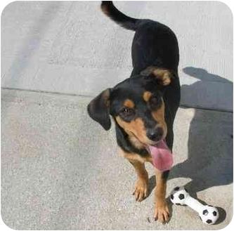 Shepherd (Unknown Type) Mix Dog for adoption in HARRISONVILLE, Missouri - Sabrina