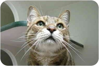 Bengal Cat for adoption in Putnam Hall, Florida - Farley