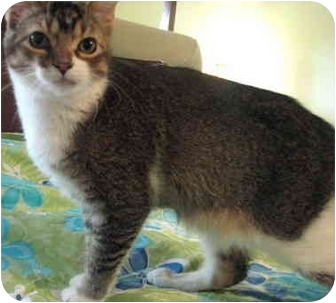 Domestic Shorthair Cat for adoption in Sterling Heights, Michigan - Phinnias