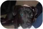 Labrador Retriever/Border Collie Mix Puppy for adoption in Sacramento, California - Abby