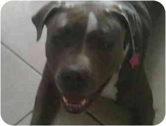 American Pit Bull Terrier Mix Dog for adoption in La Habra, California - Lady