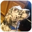 Photo 1 - English Setter Dog for adoption in Troy, Michigan - Lady