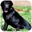 Photo 2 - Labrador Retriever Mix Dog for adoption in Pawling, New York - BARRON