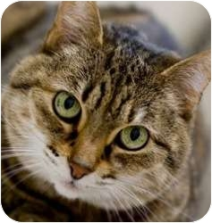 Domestic Shorthair Cat for adoption in Chicago, Illinois - Simba