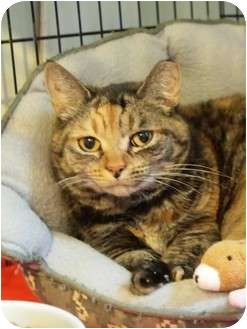 Domestic Shorthair Cat for adoption in Ocean City, New Jersey - Mixer